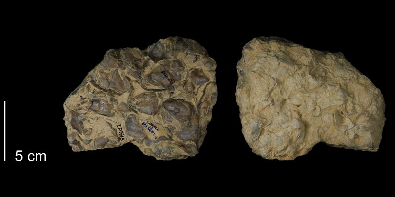 <i>Ostrea beloiti</i> from the Greenhorn Formation of Animas County, Colorado (FHSMIP 1445).