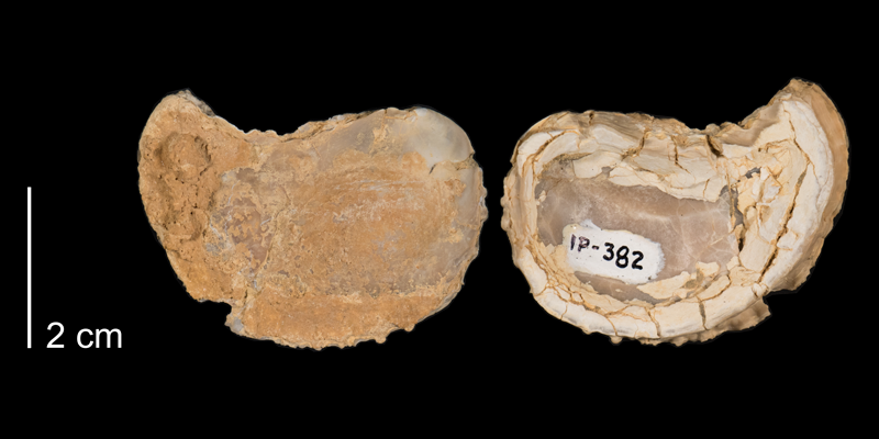<i>Ostrea beloiti</i> from the Niobrara Formation (Smoky Hill Member) of Logan County, Kansas (FHSMIP 382).