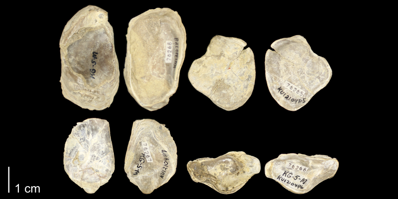 <i>Ostrea beloiti</i> from the Graneros Shale of Russell County, Kansas (KUMIP76265-76268).