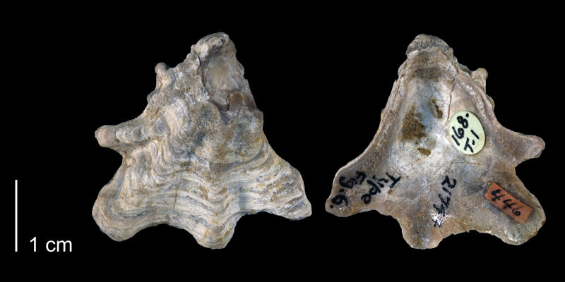 <i>Ostrea crenulimargo</i> from the Glenrose Formation of Montague County, Texas (BEG 21744).