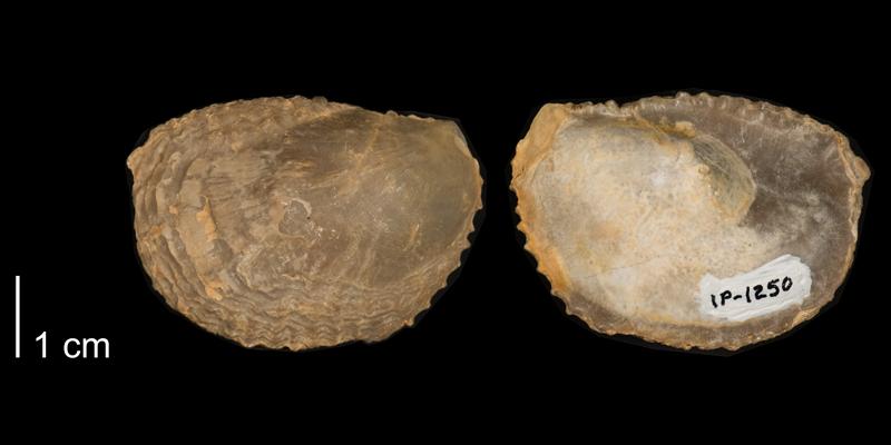 <i>Ostrea glabera</i> from the Niobrara Formation of Kansas (FHSMIP 1250).