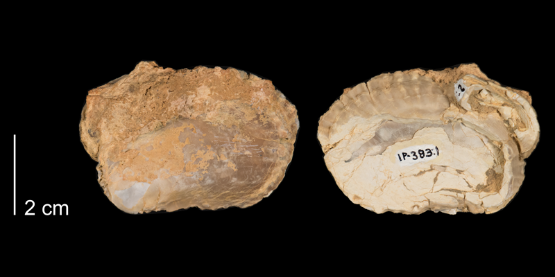 <i>Ostrea maxima</i> from the Niobrara Formation (Smoky Hill Member) of Logan County, Kansas (FHSMIP 383).