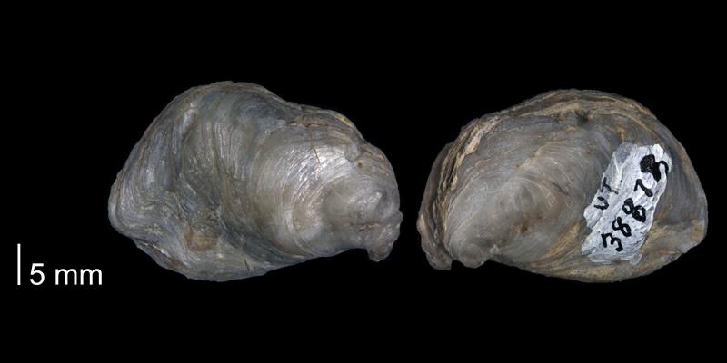 <i>Ostrea perversa</i> (UT 38873).