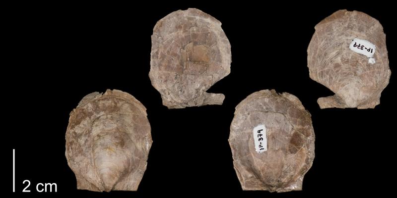 <i>Pecten bonneri</i> from the Niobrara Formation (Smoky Hill Member) of Logan County, Kansas (FHMIP 379).