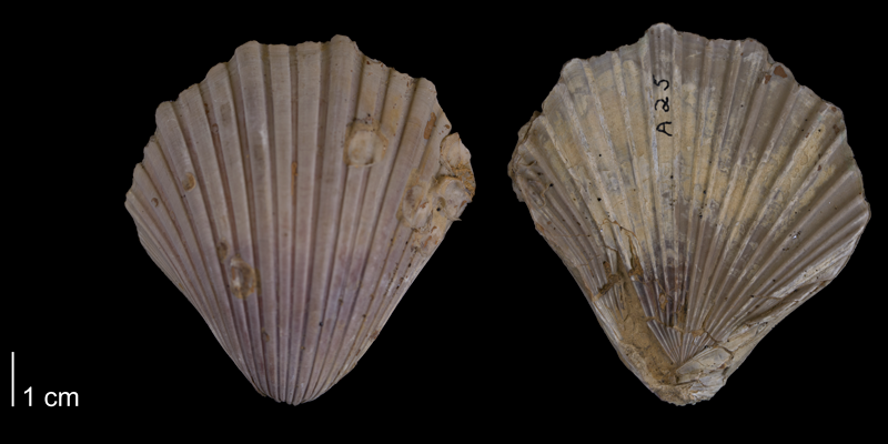 <i>Pecten texana</i> from the Del Rio Formation of Denton County, Texas (YPM 527311).