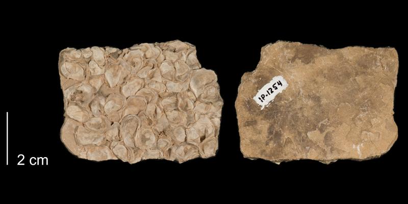 <i>Pseudoperna bentmersis</i> from the Niobrara Formation (Smoky Hill Member) of Kansas (FHSMIP 1254).