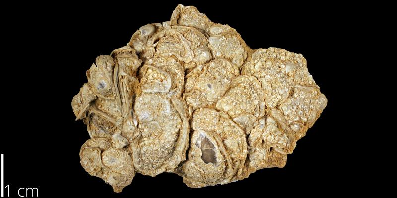 <i> Pseudoperna bentonensis </i> from the Turonian Carlile Shale Fm. of Ellis County, Kansas (KUMIP 259614).