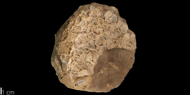 <i> Pseudoperna bentonensis </i> from the Turonian Greenhorn Limestone Fm. of Hodgeman County, Kansas (KUMIP 82171).