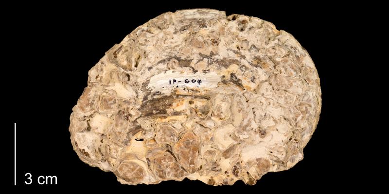 <i>Pseudoperna congesta</i> from the Niobrara Formation (Smoky Hill Member) of Trego County, Kansas (FHSMIP 607).
