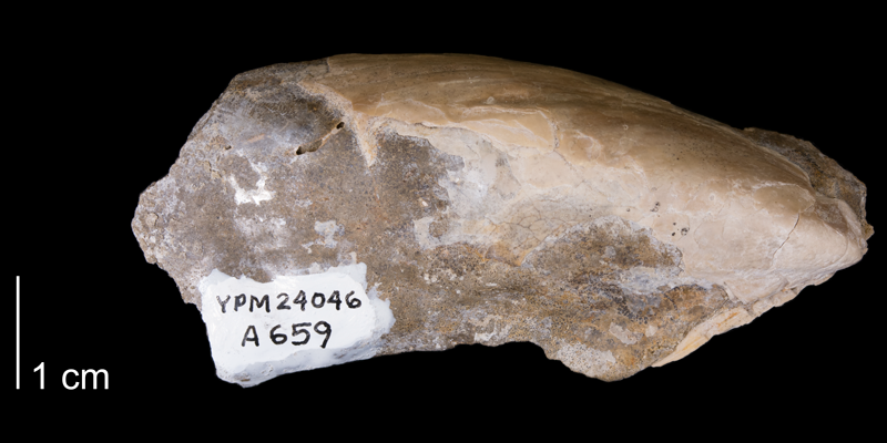 <i>Pseudoptera subtortuosa</i> from the Fox Hills Formation (Trail City Member) of Ziebach County, South Dakota (YPM 24046).