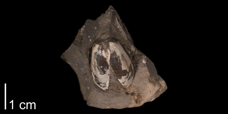 <i>Solemya bilix</i> from the Pierre Formation of Meade County, South Dakota (FHSMIP 1336).