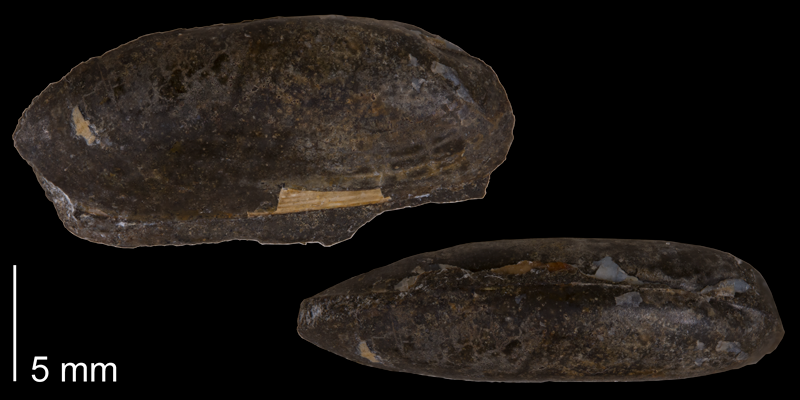 <i>Solemya subplicata</i> from the Fox Hills Formation (Timber Lake Member) of Dewey County, South Dakota (YPM 23995).