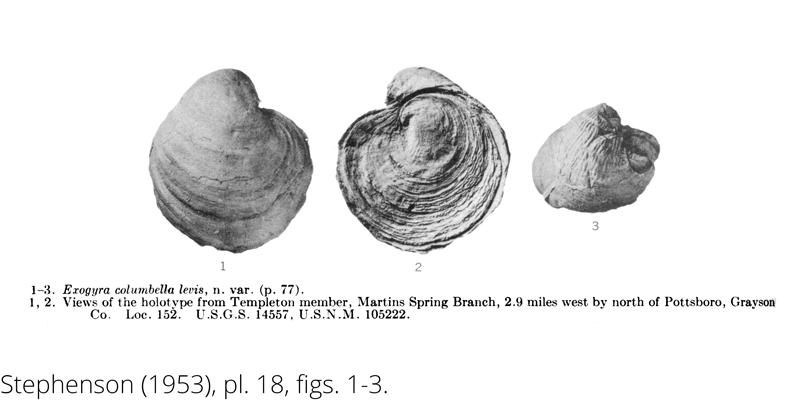 <i> Exogyra columbella </i> from the Cenomanian Woodbine Fm. of Texas (Stephenson 1953).
