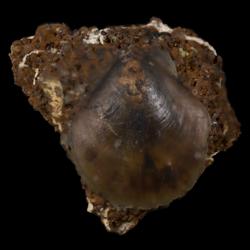 Entoliidae