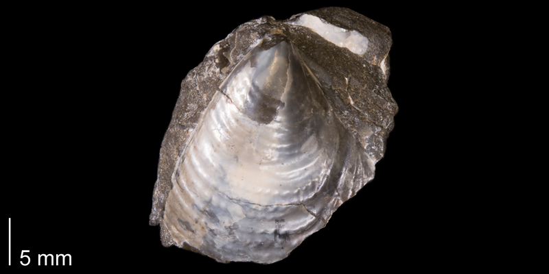 Tenuipteria fibrosa from the Fox Hills Formation (Trail City Member) of Corson County, South Dakota (YPM 24036).