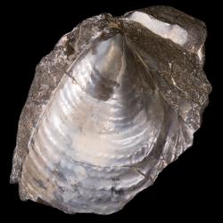 Bakevelliidae