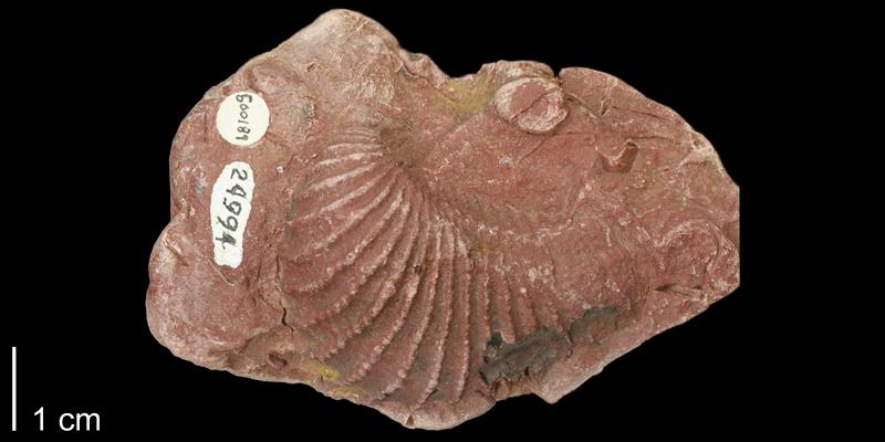 Artificial wax cast of <i>Trigonia emoryi</i> from the Kiowa Formation of Saline County, Kansas (KUMIP 500189).