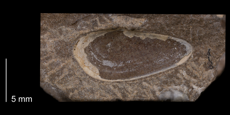 Holotype of <i>Yoldia lacrima</i> from the Fox Hills Formation (Trail City Member) of Dewey County, South Dakota (YPM 23988).