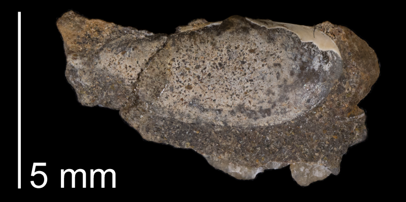 Paratype of <i>Yoldia lacrima</i> from the Fox Hills Formation (Trail City Member) of Dewey County, South Dakota (YPM 24537).
