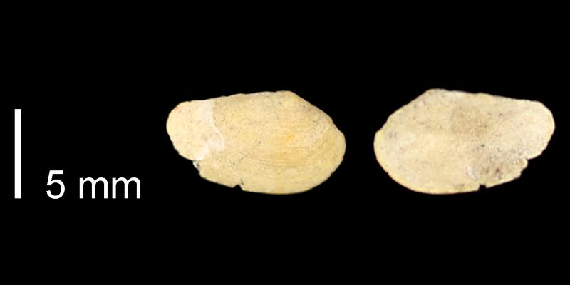 <i>Yoldia subacuta</i> from the Graneros Shale of Russell County, Kansas (KUMIP 76252).