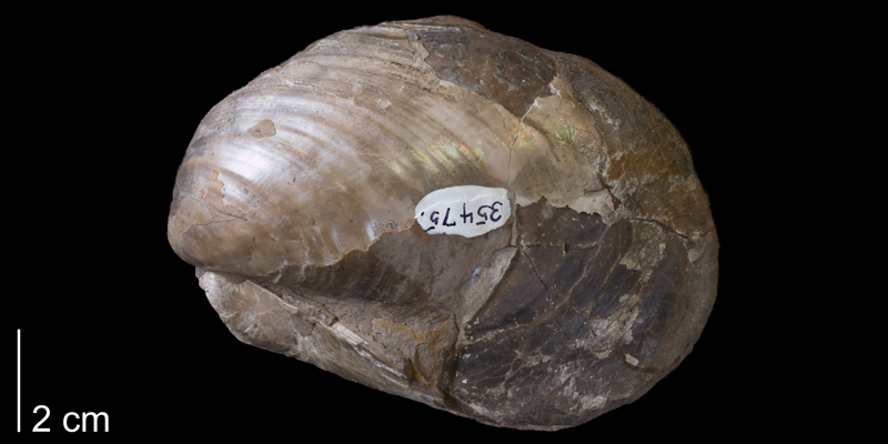 <i>Inoceramus barabini</i> from the Pierre Shale of Niobrara County, Wyoming (YPM 35475).