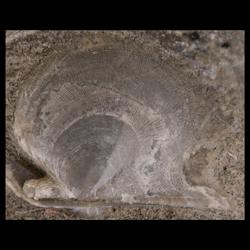 Oxytomidae