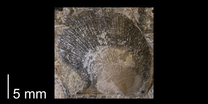 <i>Oxytoma nebrascana</i> from the Fox Hills Formation (Trail City Member) of Corson County, South Dakota (YPM 24090).
