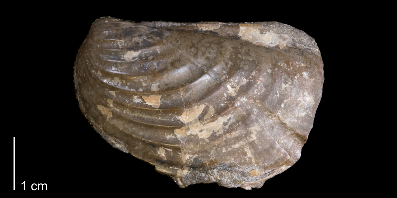 <i>Inoceramus typicus</i> from the Pierre Shale of Niobrara County, Wyoming (YPM 24053).