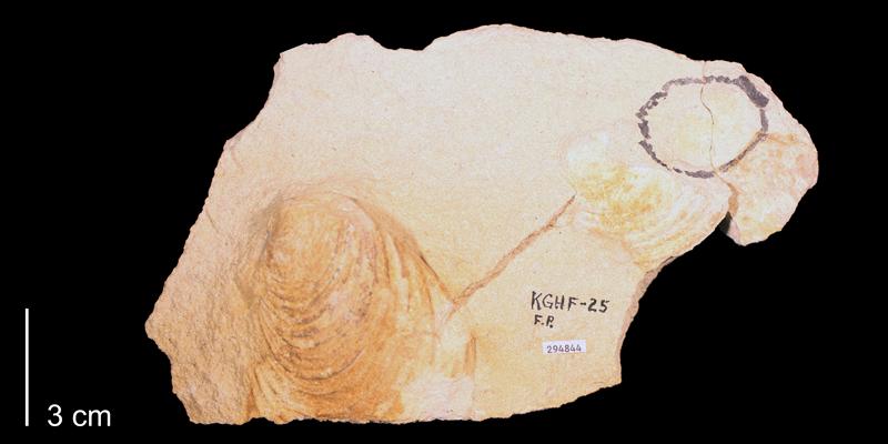 <i>Inoceramus subhercynicus</i> from the Greenhorn Limestone (Pfeifer Shale Member) of Mitchell County, Kansas (KUMIP 294844).