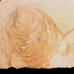 Inoceramus subhercynicus