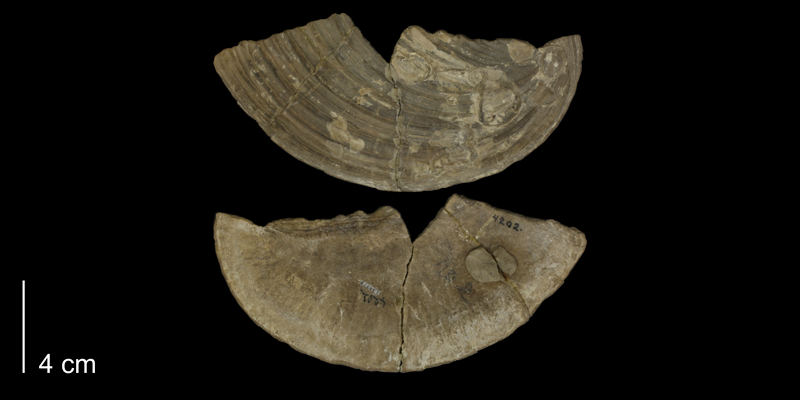 <i>Inoceramus concentricus</i> from the Niobrara Formation of Ellis County, Kansas (KUMIP 138208).