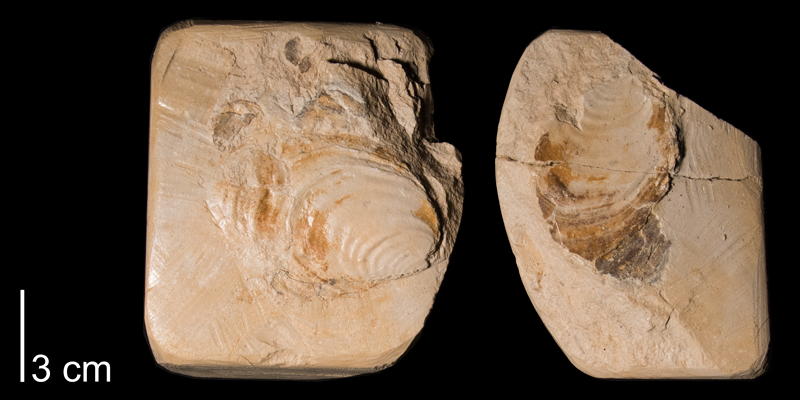 <i>Inoceramus deformis</i> from the Niobrara Formation Smoky Hill Member) of Rooks County, Kansas (FHSMIP 971).