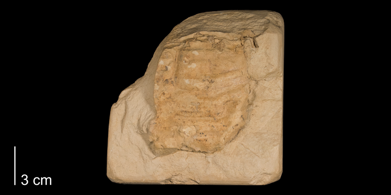 <i>Inoceramus deformis</i> from the Niobrara Formation (Smoky Hill Member) of Rooks County, Kansas (FHSMIP 978).
