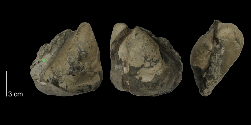 Inoceramus flaccidus from the Carlile Shale (Blue Hill Shale Member) of Ellis County, Kansas (KUMIP 58920).