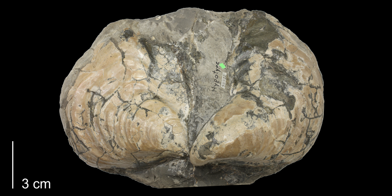 <i>Inoceramus flaccidus</i> from the Carlile Shale (Blue Hill Shale Member) of Ellis County, Kansas (KUMIP 58922).