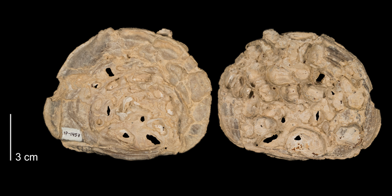 <i>Inoceramus grandis</i> fom the Niobrara Formation (Smoky Hill Member) of Ellis County, Kansas (FHSMIP 1457).