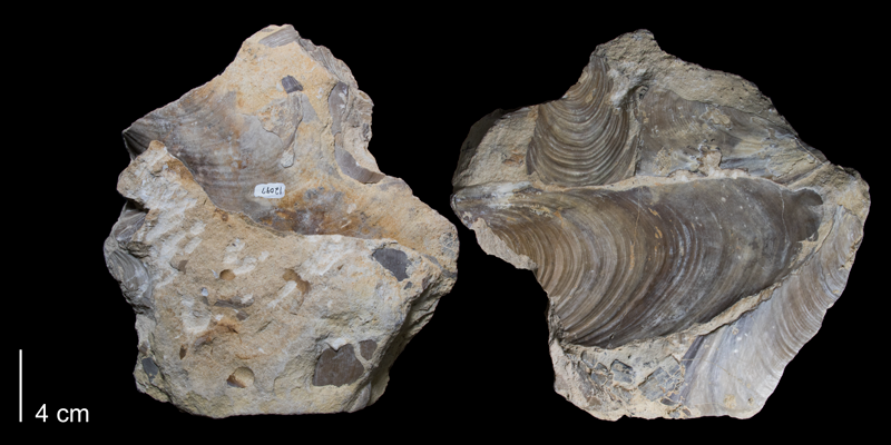 <i>Inoceramus labiatus</i> from the Greenhorn Formation (Pfeifer Member) of Russell County, Kansas (FHSMIP 1756).