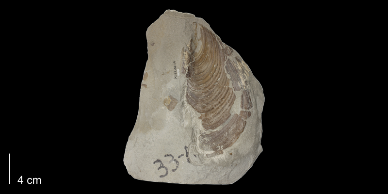 <i>Inoceramus labiatus</i> from the Carlile Shale Formation (Fairport Member) of Osborne County, Kansas (KUMIP 58925).