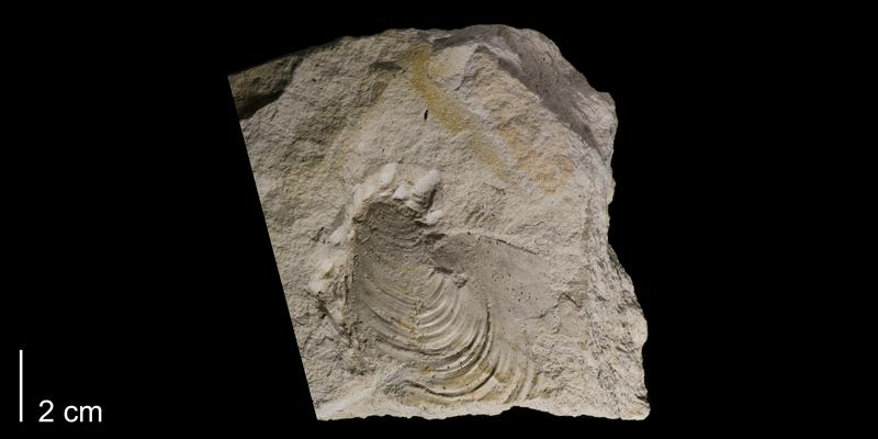 <i>Inoceramus latus</i> from the Greenhorn from the Greenhorn Formation (Pfeifer Member) of Russell County, Kansas (FHSMIP 1763).