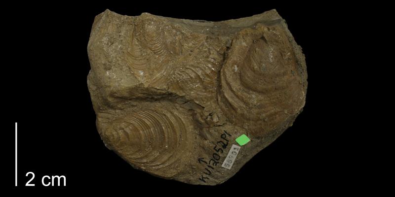 <i>Inoceramus latus</i> from the Carlile Shale of Finney County, Kansas (KUMIP 58901).