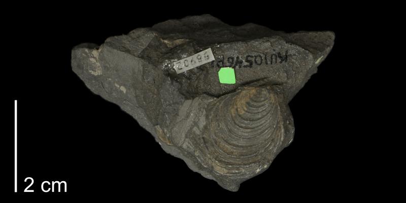 <i>Inoceramus latus</i> from the Carlile Shale (Fairport Member) of Jewell County, Kansas (KUMIP 58902).