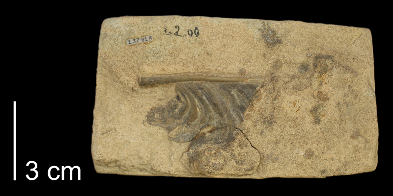 Syntype of <i>Inoceramus pennatus</i> from the Niobrara Formation of Gove County, Kansas (KUMIP 137918)