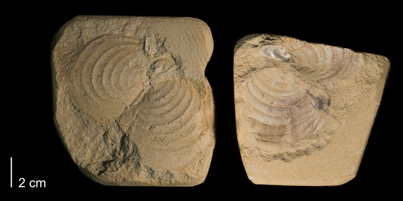 <i>Inoceramus perplexus</i> from the Niobrara Formation (Smoky Hill member) (state unknown) (FHSMIP 659).