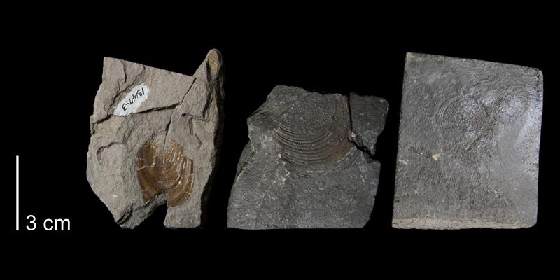 <i>Inoceramus pictus</i> from the Greenhorn Formation (Hartland Member) of Russell County, Kansas (FHSMIP 1742).