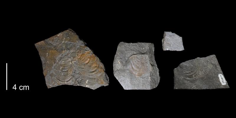 <i>Inoceramus pictus</i> from the Greenhorn Formation (Hartland Member) of Russell County, Kansas (FHSMIP1743).