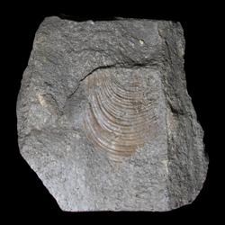 Inoceramus pictus
