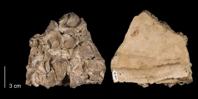 <i>Inoceramus pictus</i> from the Niobrara Formation (Smoky Hill Member) of Trego County, Kansas (FHSMIP 711).