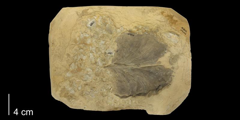 <i>Inoceramus platinus</i> from the Niobrara Formation of Kansas (KUMIP 429697).