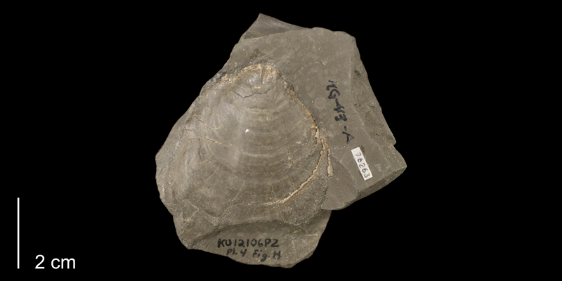 <i>Inoceramus rutherfordi</i> from the Graneros Shale Formation of Ellsworth County, Kansas (KUMIP 76263).
