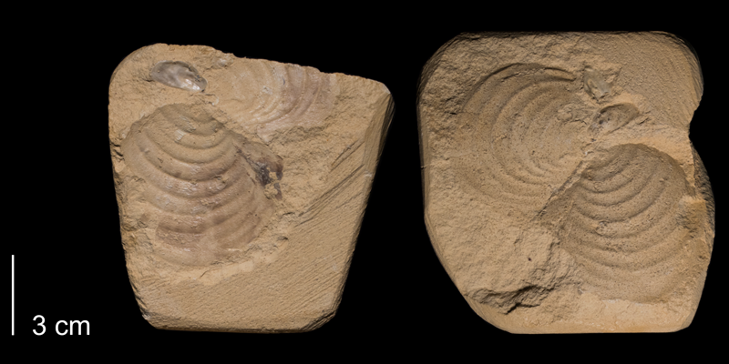<i>Inoceramus simpsoni</i> from the Niobrara Formation (Smoky Hill Member) of Gove County, Kansas (FHSMIP 659).